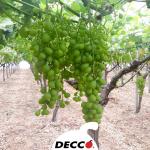 La qualità Decco su uva da tavola