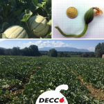 Strategia Decco su melone retato
